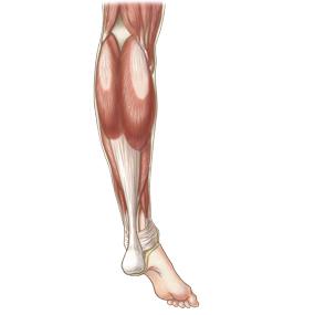 下腿を後面からみた筋肉のイラスト ※着色あり