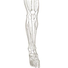 下腿を前面からみた筋肉のイラスト ※着色なし