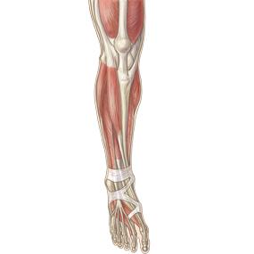 下腿を前面からみた筋肉のイラスト ※着色あり