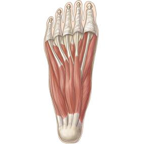 足底の筋肉のイラスト ※着色あり