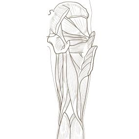 大腿を後面からみた筋肉のイラスト ※着色なし