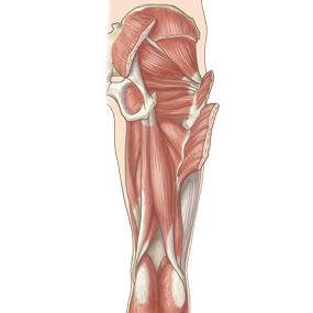 大腿を後面からみた筋肉のイラスト ※着色あり