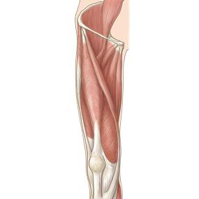 大腿を前面からみた筋肉のイラスト ※着色あり