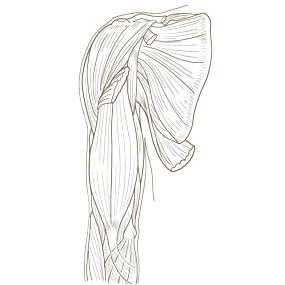 上腕を前面からみた筋肉のイラスト※着色なし