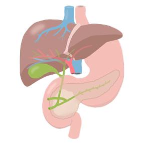 肝臓、たんのう、すい臓のイラスト