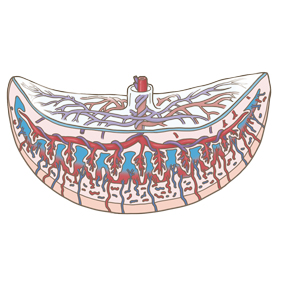 胎盤の構造のイラスト ※着色あり