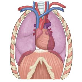 心臓と肺の位置がわかるイラスト※着色あり