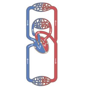 肺循環と体循環のイラスト ※着色あり