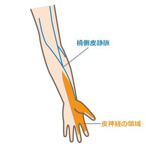 橈側皮静脈の走行と皮神経の領域のイラスト