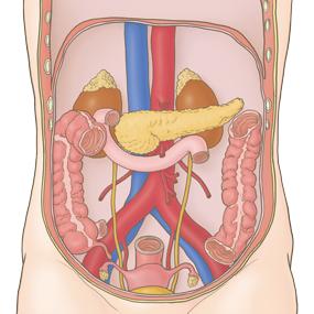腹膜後器官(十二指腸、膵臓、腎臓、副腎、尿管、腹部大動脈、下大静脈)のイラスト※着色あり