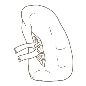 脾臓と血管の位置がわかるイラスト ※着色なし