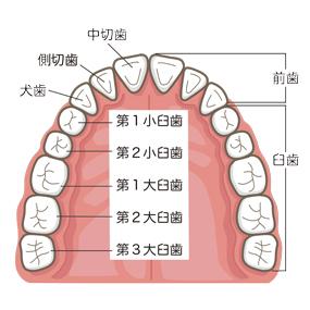 口腔内(歯)のイラスト