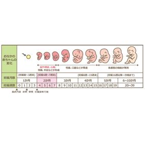 妊娠 周期