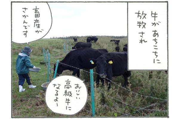 トカラは畜産も盛んで、高級牛が生産されています。その牛があちこちに放牧されていたり