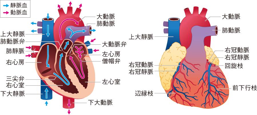 心臓の解剖