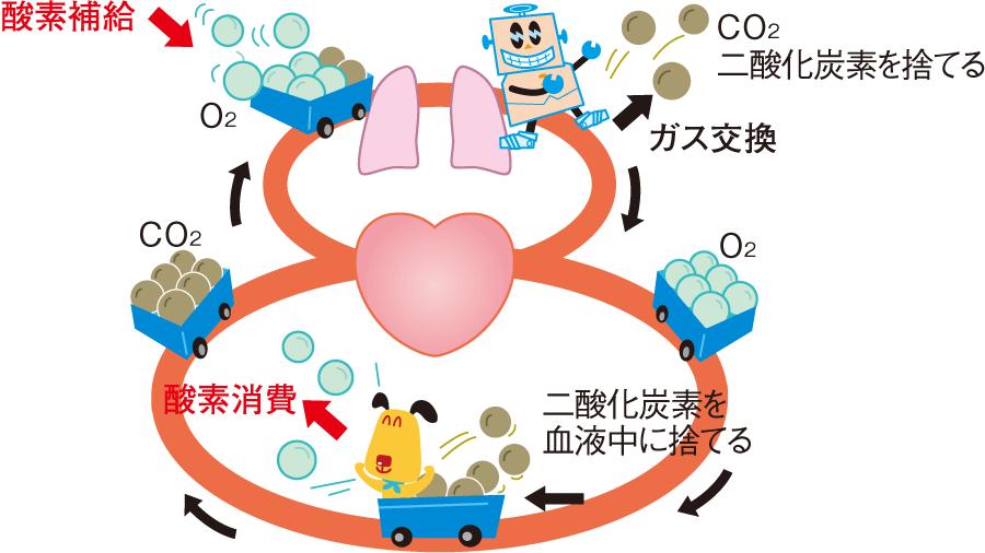 肺循環と体循環の役割