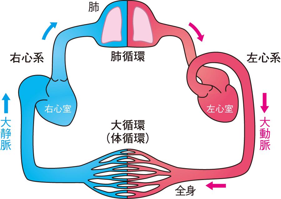 肺循環と大循環