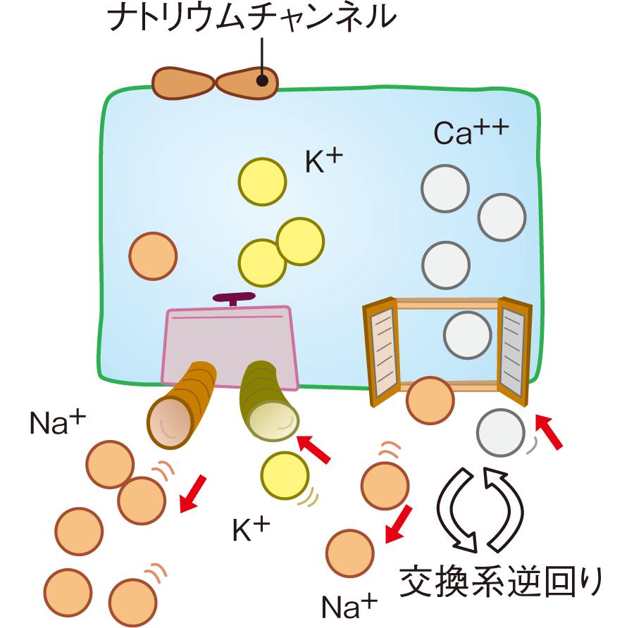 ナトリウム・カルシウム交換系