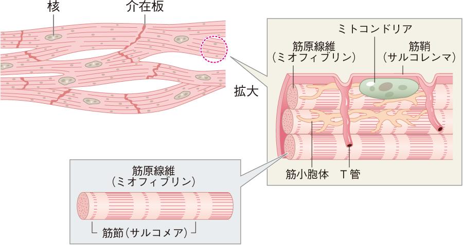 心筋細胞の構造