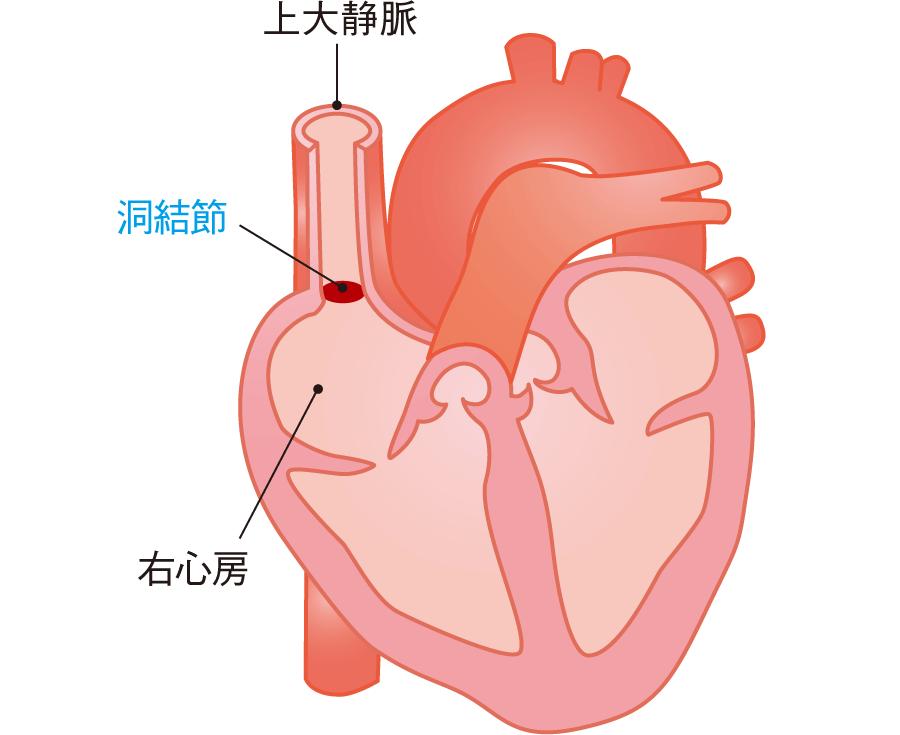 解剖図でみた洞結節の位置
