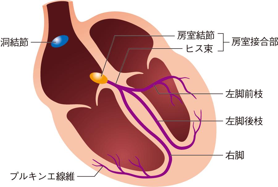 刺激伝導系