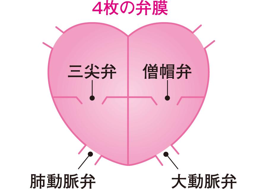心臓の4枚の弁膜