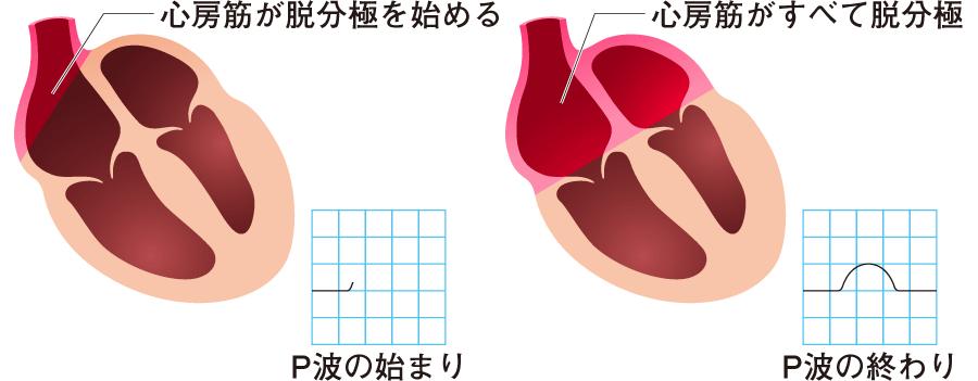 心房の興奮波