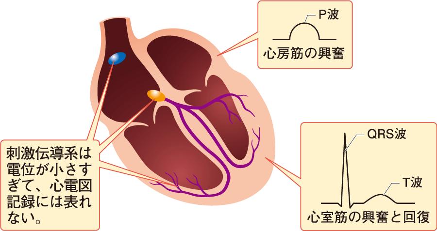 心房筋の興奮と心室筋の興奮と回復による心電図波形