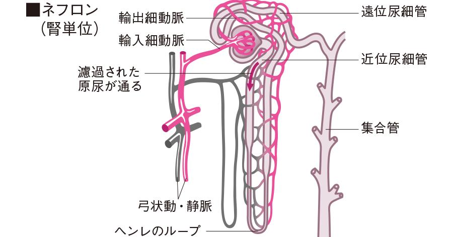 泌尿器系の構造|看護roo![カン...