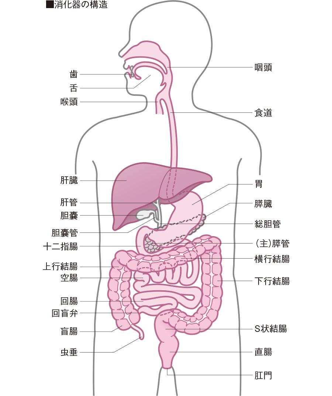 消化 管 と は 上部 上部消化管外科|診療部門・中央診療部門|診療科・部門一覧|東京慈恵会医科大学附属病院