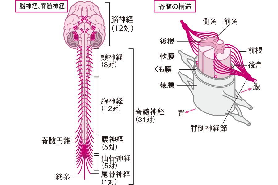 上肢の血管を解剖図で詳しくご紹介!どんな動脈や …
