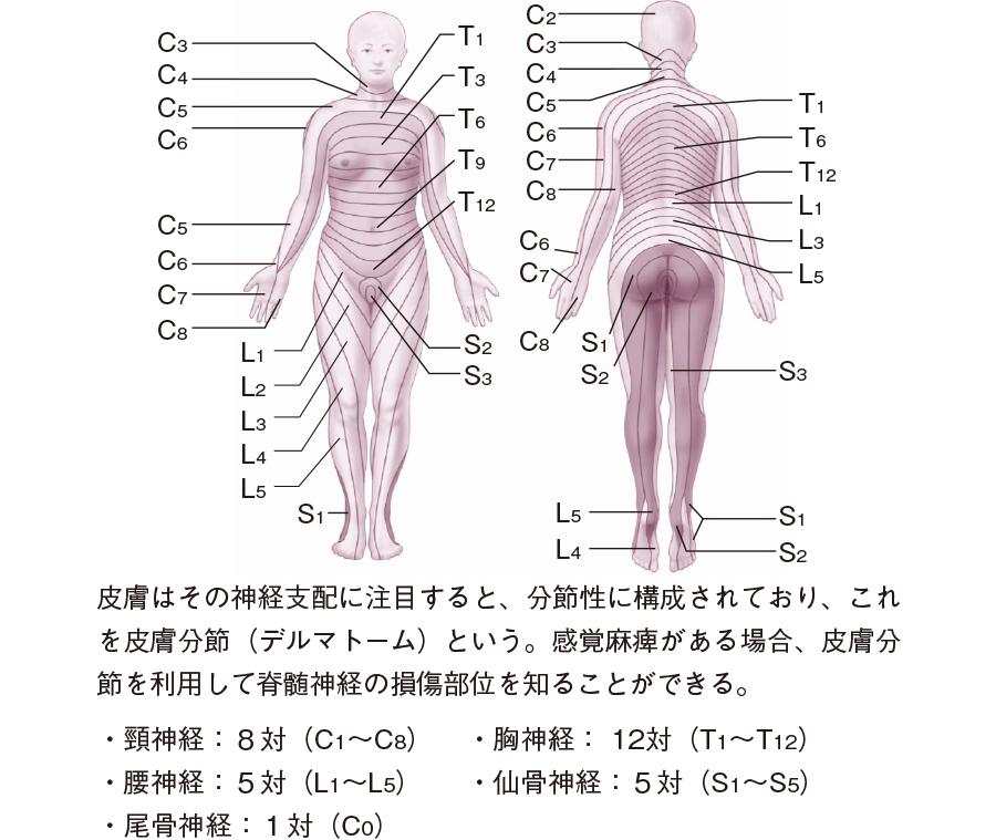 脊髄神経の皮膚分節(デルマトーム)
