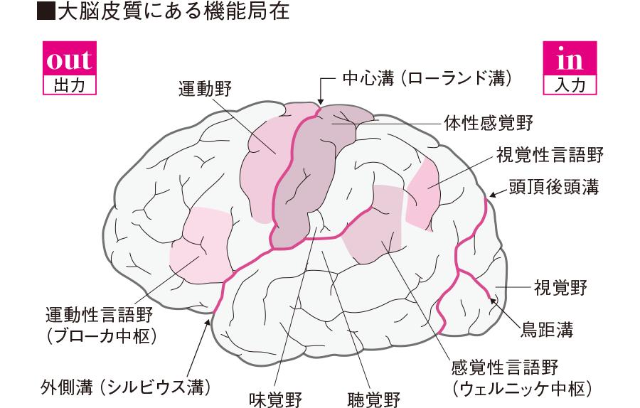 大脳皮質の機能局在
