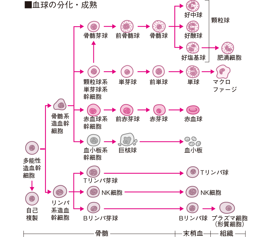 血球の分化・成熟