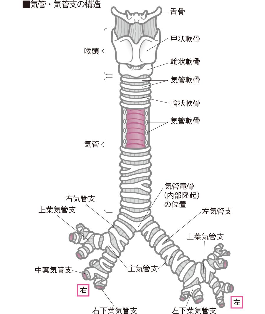 気管・気管支の構造