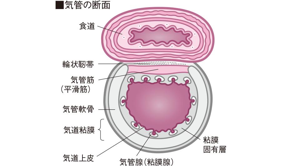 気管の断面