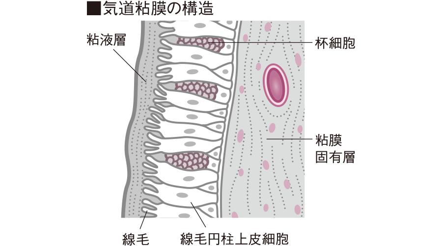気道粘膜の構造