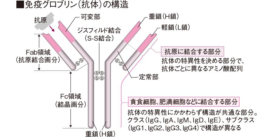 免疫グロブリン(抗体)の構造