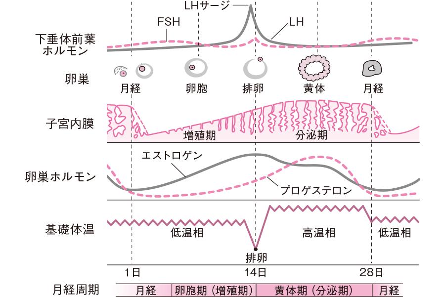 性周期(卵巣周期と月経周期)とホルモン分泌