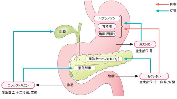 消化管ホルモンの働き