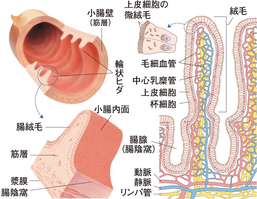 小腸粘膜の構造