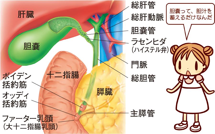 胆嚢の構造