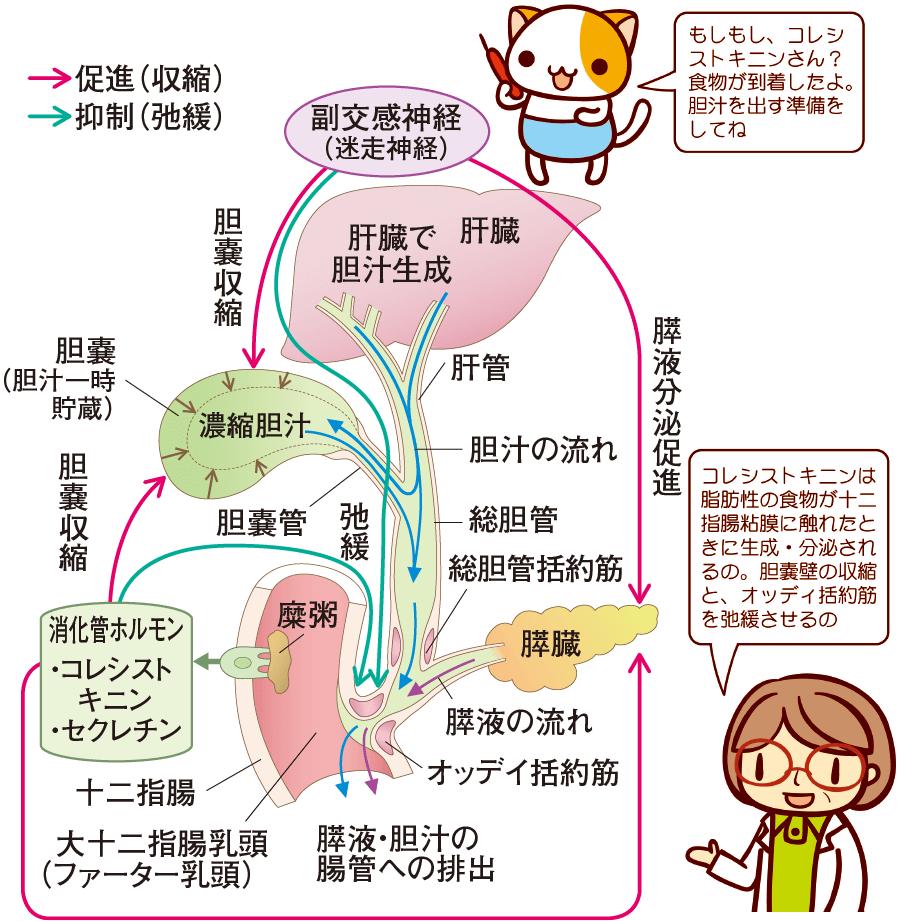 胆汁の分泌・放出と膵液分泌のしくみ