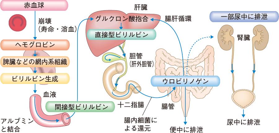 ビリルビンの生成と排泄