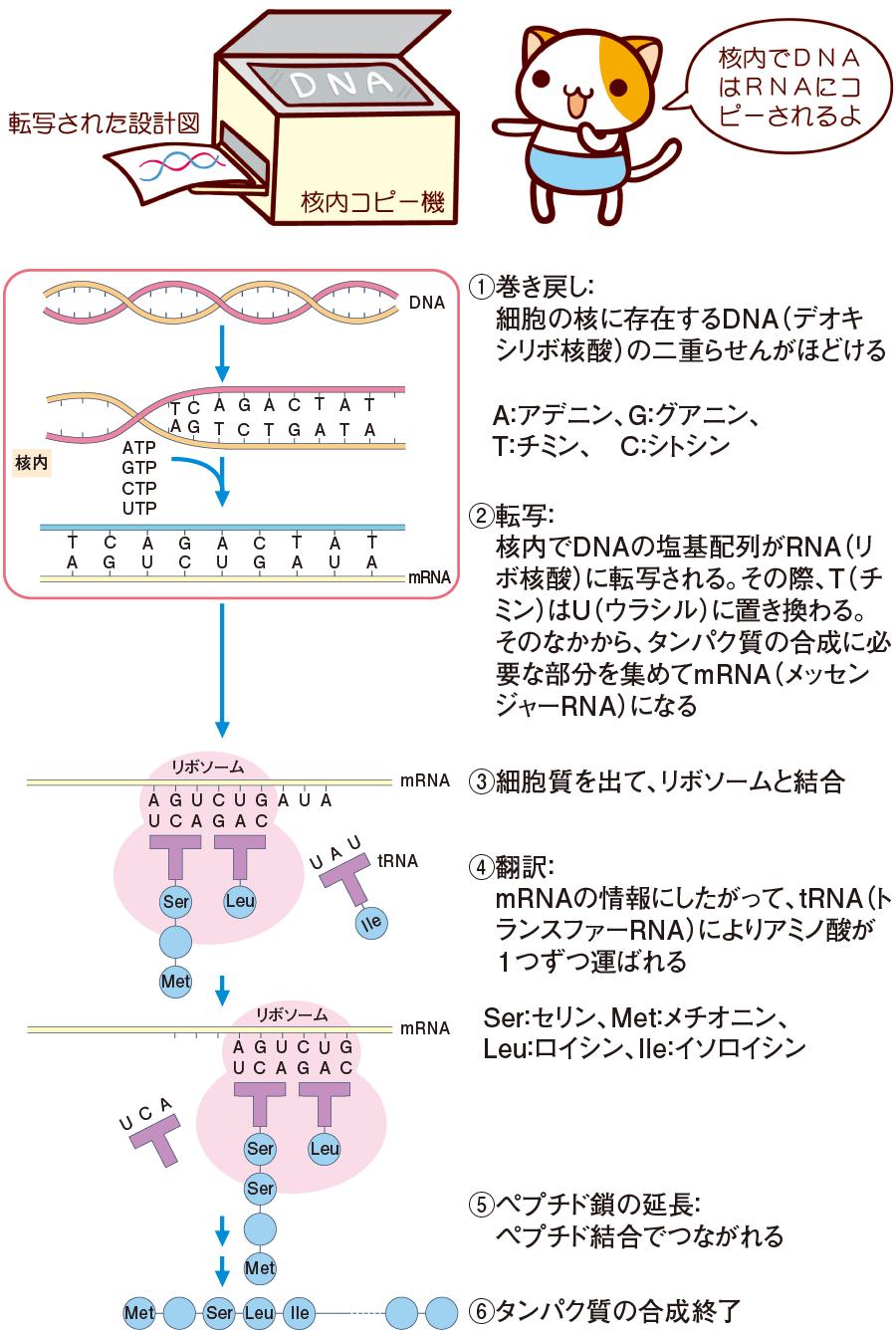 タンパク質の合成