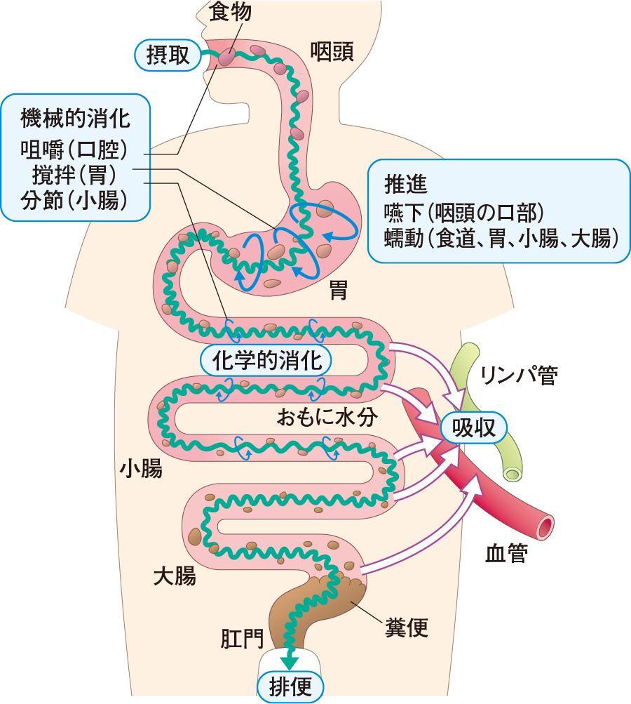 消化管の働き