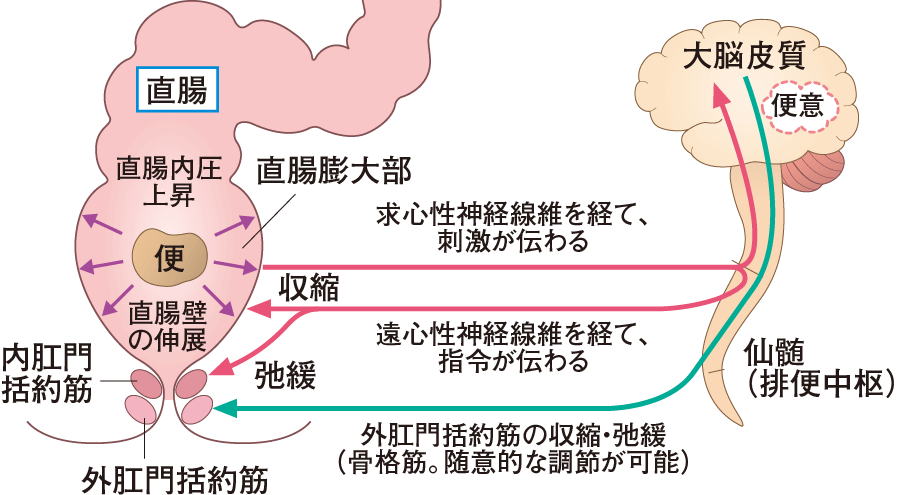 大腸・肛門の仕組み 解剖生理をおもしろく学ぶ 看護roo![カン ...
