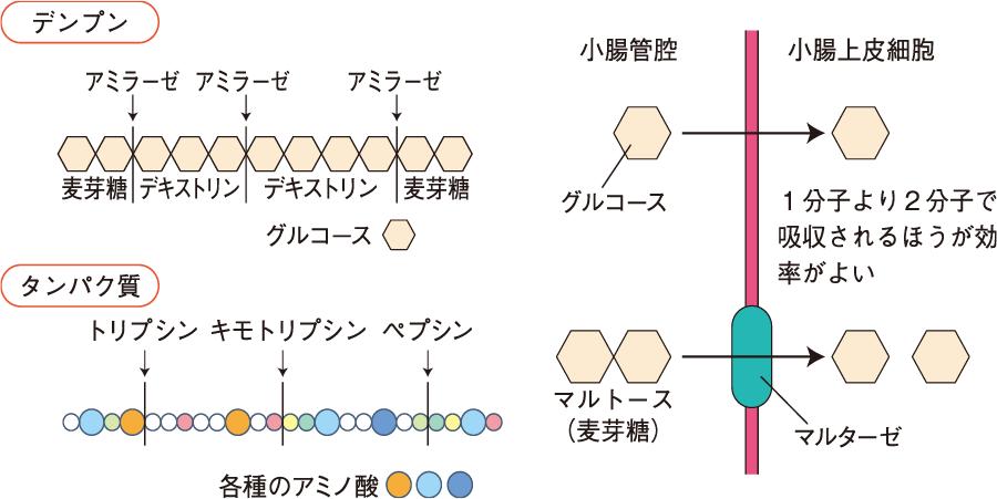 消化酵素の働き