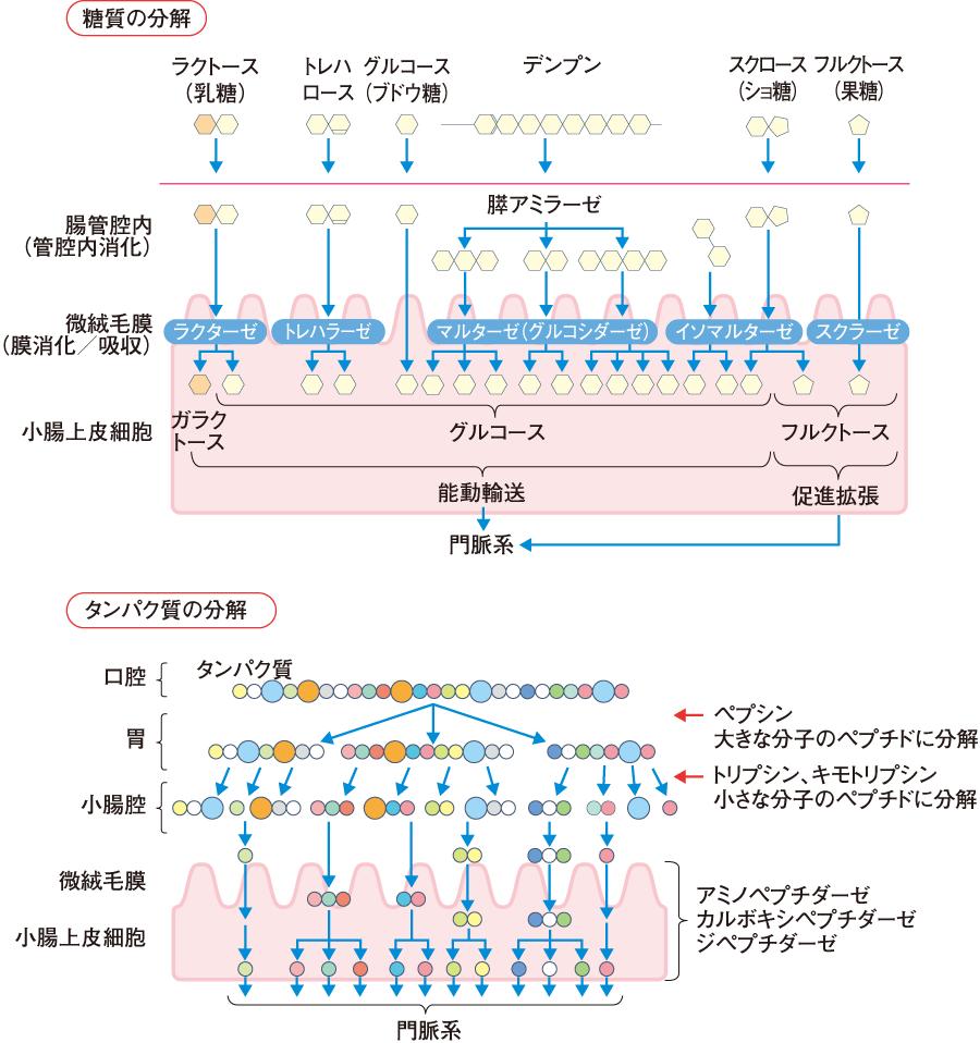 糖質とタンパク質の分解