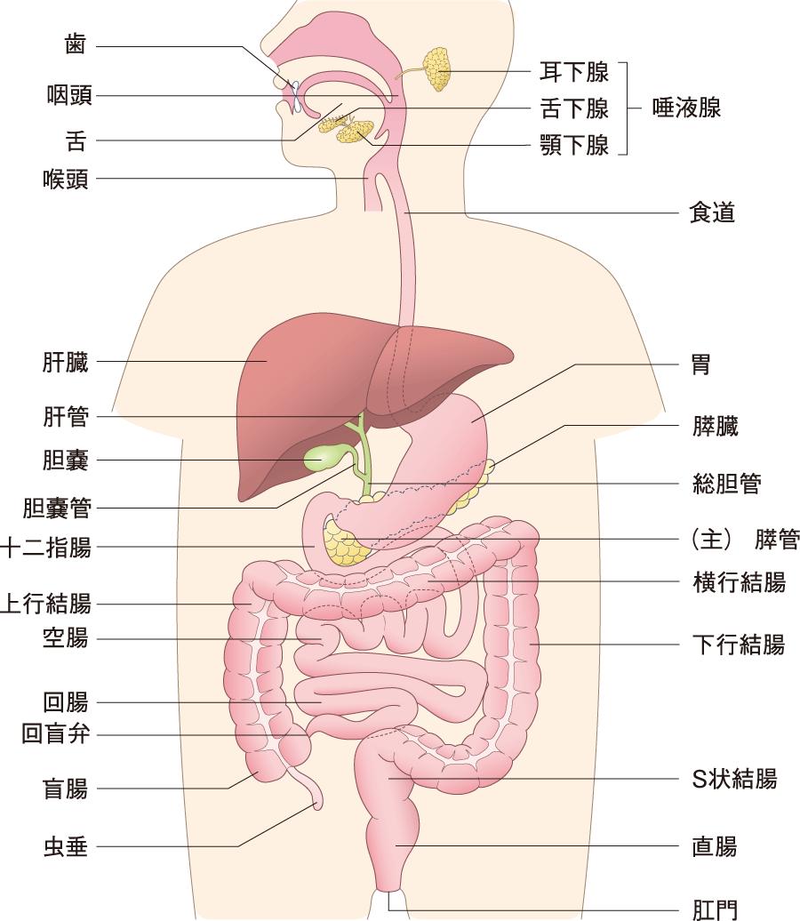 消化器系の概観